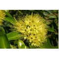"Xanthostemon chrysanthus  ""Golden Penda"""