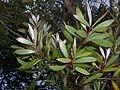 Melaleuca quinquinerva   Broad leaf paperbark