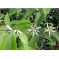Michelia alba  (Grafted)  Magnolia