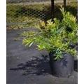 """Syzygium australe  """"Captain Cook"""""""