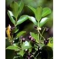 "Syzygium angophoroides   ""Yarrabah Satinash"""