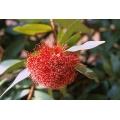 Syzygium wilsonii ssp wilsonii