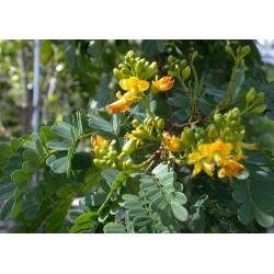 "Caesalpinia ferrea  ""Leopard tree"""