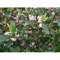 """Elaeocarpus reticulatis   """"Prima Donna"""""""