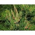 "Gymnostoma Australianum ""Daintree Pine"""