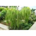 """Leptospermum logifolium (Brachyandrum) """"Weeping Ti Tree"""""""