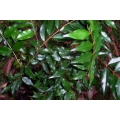 Syzygium francissii