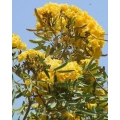 "Tabebuia argentea ""Silver trumpet tree"""