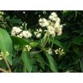 "Waterhousia floribunda ""Weeping lily piily"""