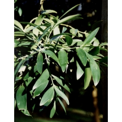 "Agathis robusta  ""Kauri pine"""