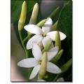 "Randia fitzalani   (Attractocarpus)  ""Native Gardenia"""
