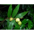 "Syzygium jambos  ""Rose apple"""