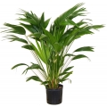"Livistona chinensis  ""Chinese fan palm"""