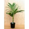 """Archontopheonix alexandrae  """"Alexander palm"""""""