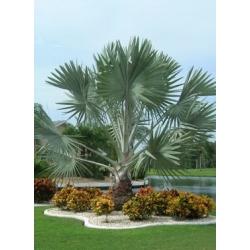 "Bismarckia nobilis ""Bismark palm"""