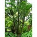 "Dypsis cabadae ""Cabada palm"""