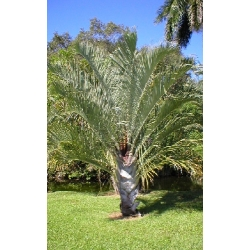 "Dypsis decaryi  ""Triangle Palm"""