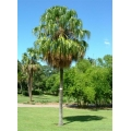 "Livistona decipiens   ""Weeping Cabbage Palm"""