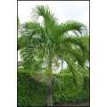 "Veitchia merrillii ""Manila Palm"""