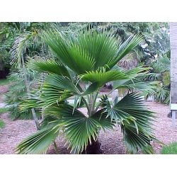 "Pritchardia pacifica   ""Fiji Fan Palm"""