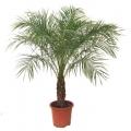 "Phoenix roebelenii  ""Dwarf date palm"""