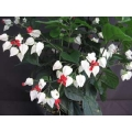 "Clerodendron thomsoniae ""Bleeding Heart Vine"""