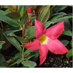 Dipladenia sanderi  Red Riding Hood