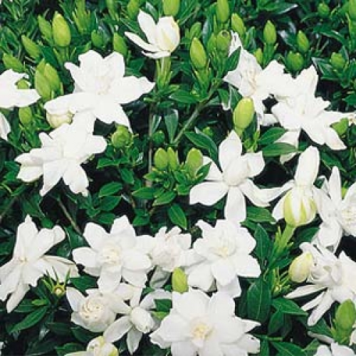 Gardenia Radicans Variegata: Gardenia Radicans