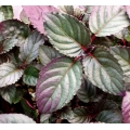 "Hemigraphis colorata   ""Red Ivy"""