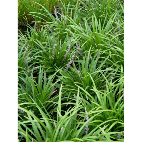 Mad About Plants Liriope Gigantea Evergreen Giant
