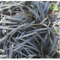 "Ophiopogon plantiscapus nigrescens   ""Black mondo grass"""