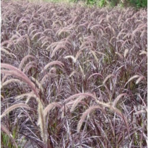 mad about plants pennisetum advena rubrum