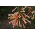 """Russelia equisetiformis """"Tangerine Falls"""""""