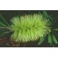 "Callistemon pachysphylla   ""Wallum bottlebrush"""