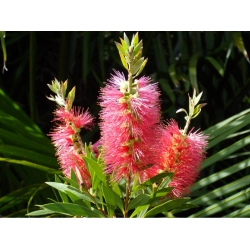 Callistemon Rose Opal