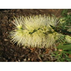 Callistemon Wilderness White