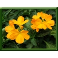 Crossandra infundibuliformis yellow