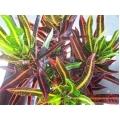 Croton (Codiaeum)    Assorted varieties