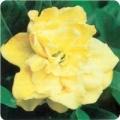 """Gardenia """"Gold Magic"""""""