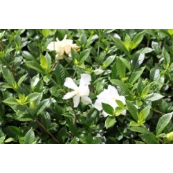 mad about plants gardenia veitchii ocean pearl. Black Bedroom Furniture Sets. Home Design Ideas