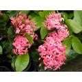 Ixora Malay Pink