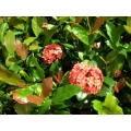 Ixora Prince of Orange