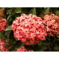 Ixora Prince of Orange compacta