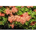 Ixora williamsii