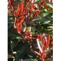 """Metrosideros vitiencensis """"Fiji Fire"""""""
