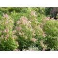 """Phyllanthus cuscutiflorus """"Pink phyllanthus"""""""