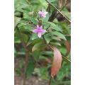 Pseuderanthemum andersoni (Carruthersii)