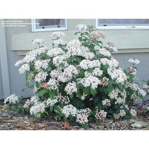 Landscape Bushes With Odor : Mad about plants viburnum odor laurustinus