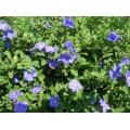 """Evolvulus pilosus """"Blue Sapphire"""""""
