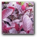 Pseuderanthemum burgundy